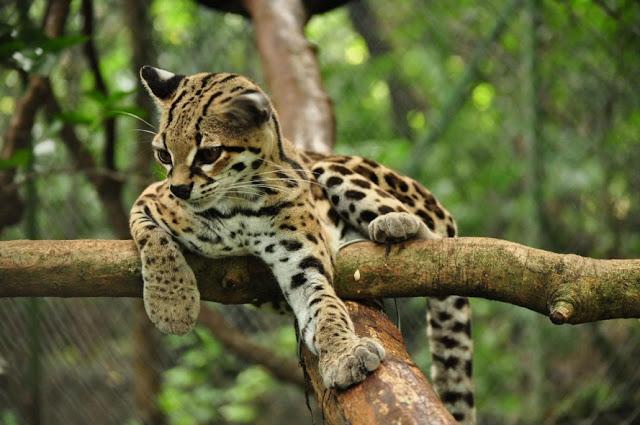 Resultado de imagem para Gato-maracajá