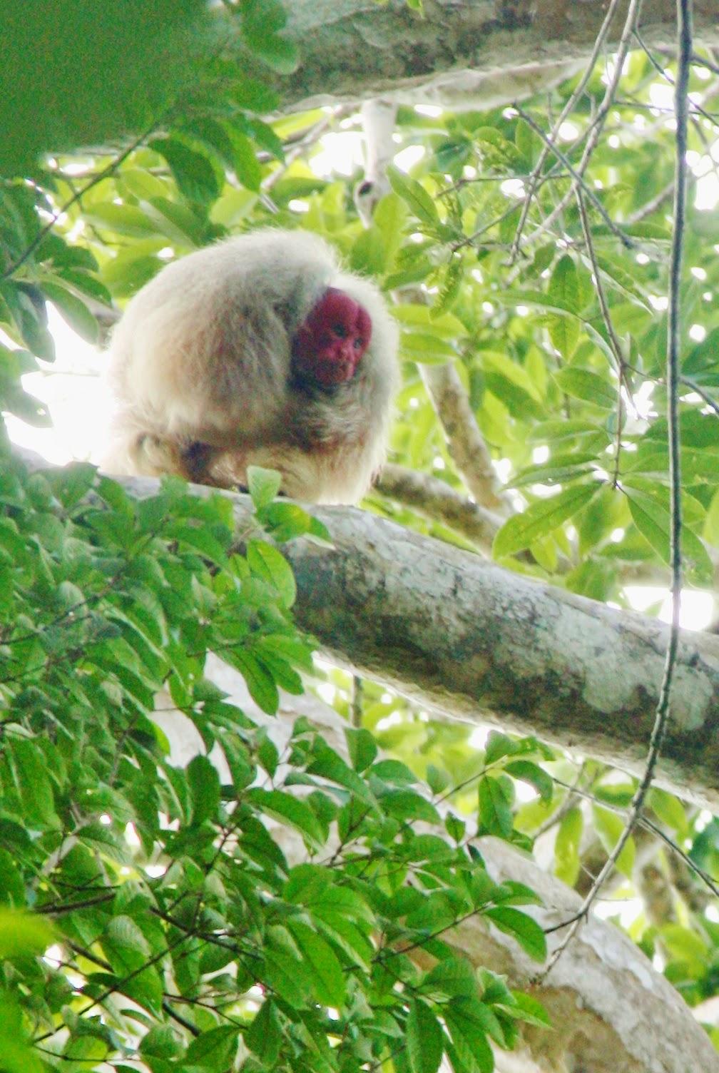 Encontro com o macaco uacari, típico da várzea amazônica