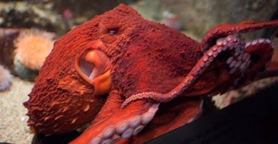 Spesies Baru Gurita Pasifik Raksasa Ditemukan