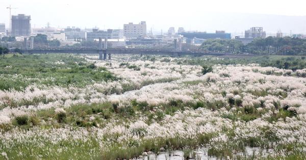 台中太平頭汴坑溪甜根子草,河床變成銀白色世界,秋意上心頭