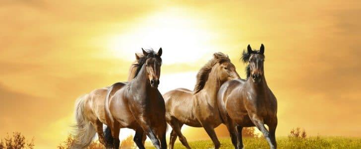 قصة عادة: العرب والخيول الأصيلة