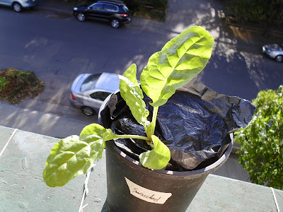 1 month old Swiss Chard