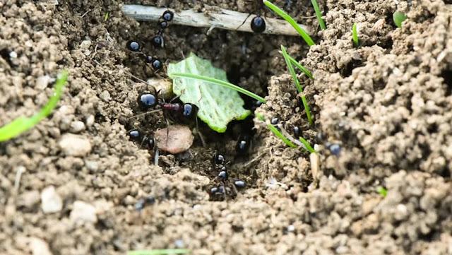Khasiat sarang semut papua untuk kesehatan