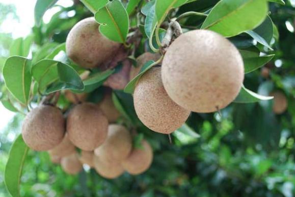 10 Benefits and Content of Kepel Fruit (Stelechocarpus burahol ...