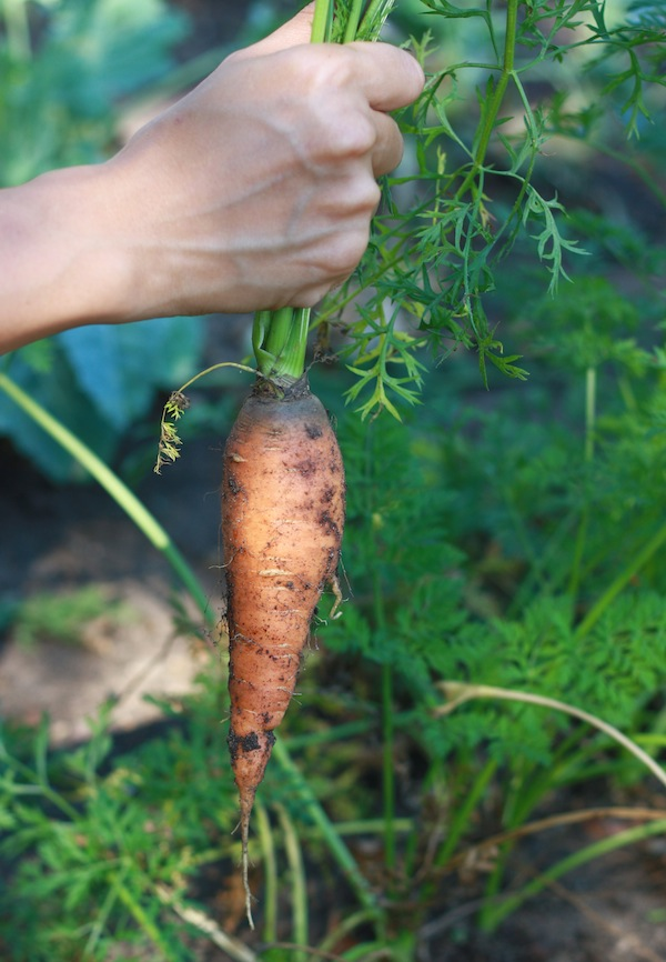 Carrot just pulled out of the ground in the vegetable garden