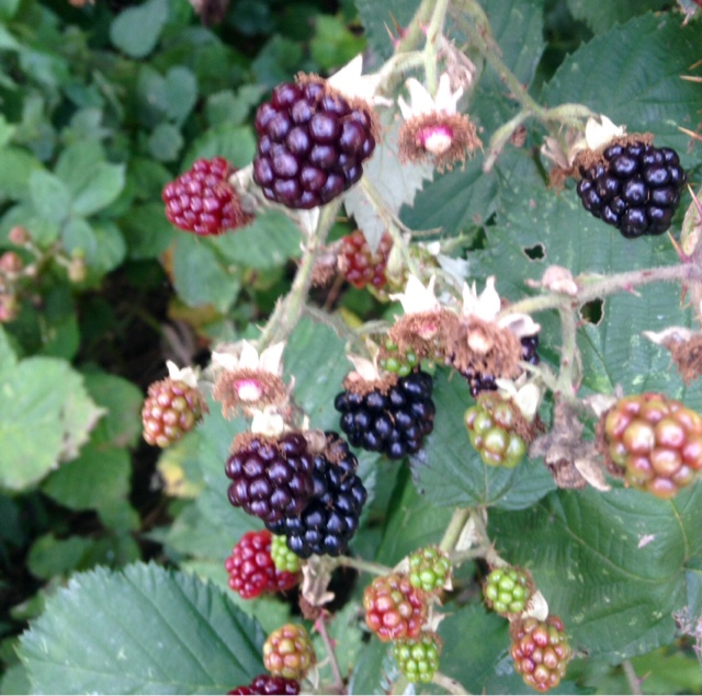 Blackberries Autumn