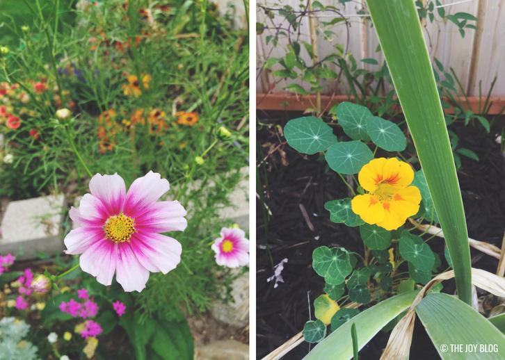 Cosmos & Nasturtiums // Garden Update: September 2018 // www.thejoyblog.net