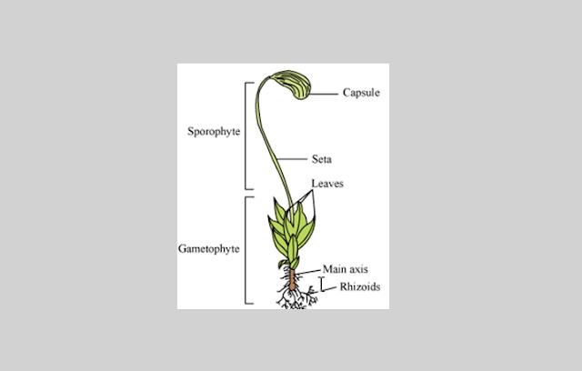 Pengertian, Struktur dan Klasifikasi Bryophyta (Tumbuhan Lumut)