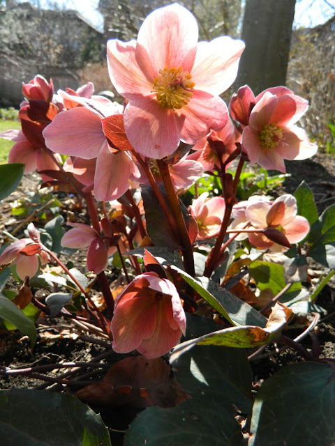 """Pink Frost"" Hellebore spring blooms by garden muses: a Toronto gardening blog"