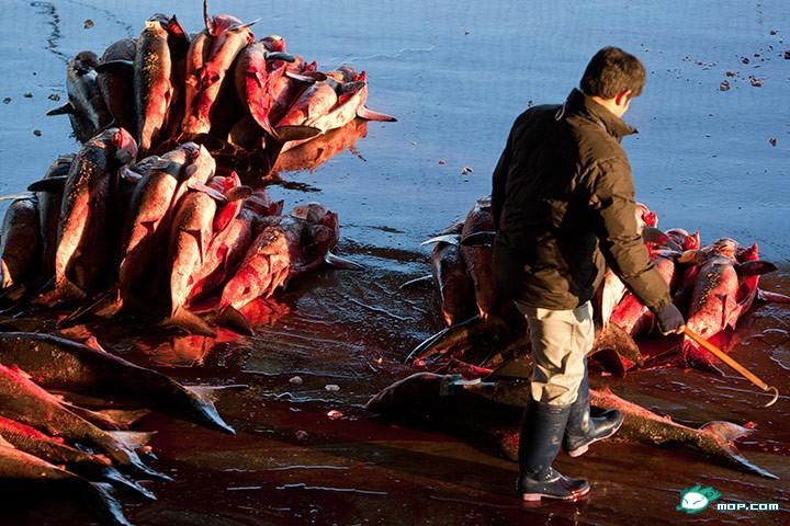 傅雲欽如是說: 海嘯沖洗日本人,卻有了其他新用途,人類已經有無可挽回的畏懼,早期人類利用鯊魚皮來當砂紙,淹沒蔡英文