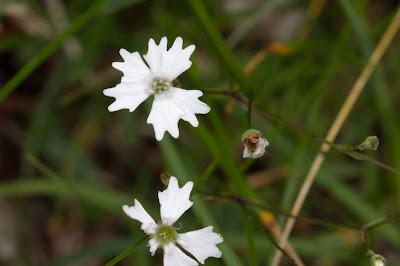 Silene alpestris – Alpine Catchfly (Silene alpestre)