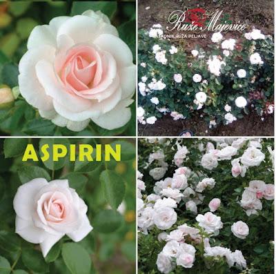 Bijele ruže, prodaja sadnia ruža