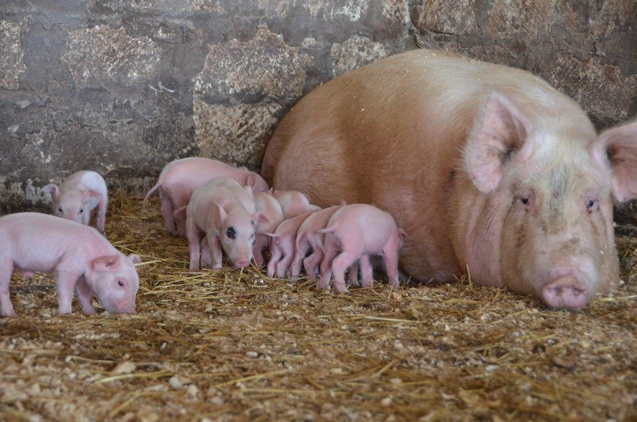 картинки свиней с поросятами цитрусовых