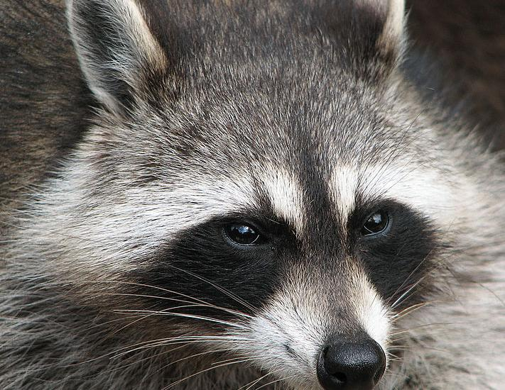 Adirondack Wildlife: Raccoons in Winter - - The Adirondack ... on fish homes, weasel homes, lyon homes, otter homes, skunk homes, spider homes, muskrat homes, monkey homes, cats homes, fire ant homes, bunny homes, chimp homes, gorilla homes, hedgehog homes, lizard homes, hummingbird homes, mouse homes, fisher homes, coyote homes,