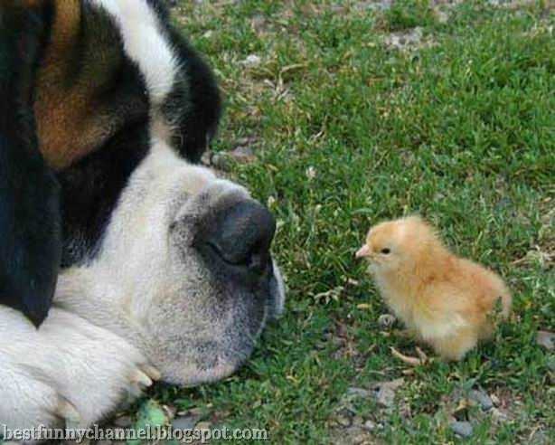 Dog and Chicken