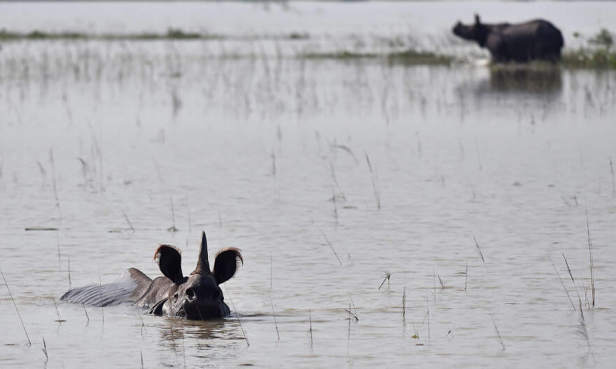 18 Devastating Pictures Of The Flooding In South Asia That Will Shock You - Indian One-horned Rhinoceroses Wade Through Flood Waters At The Pobitora Wildlife Sanctuary In Assam