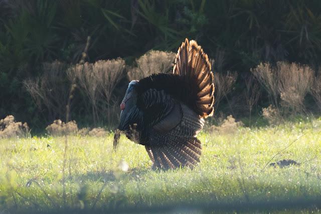 Wild Turkey - Three Lakes WMA, Florida