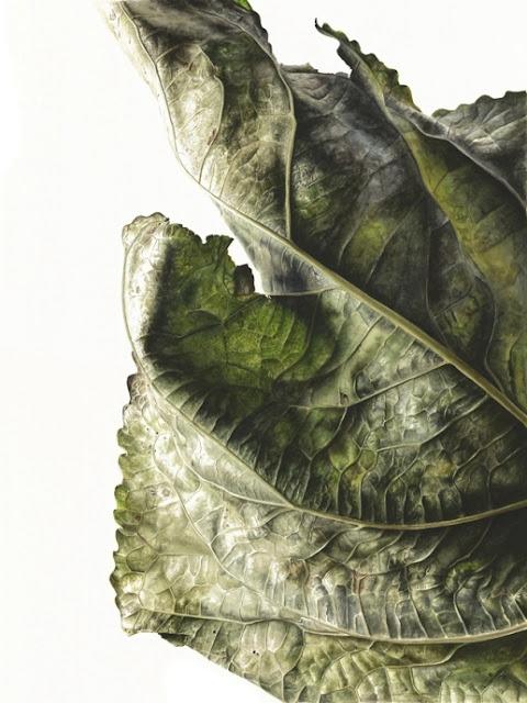 Poplar (Populus x canadensis) botanical art Jess Shepherd