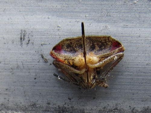 half a stink bug