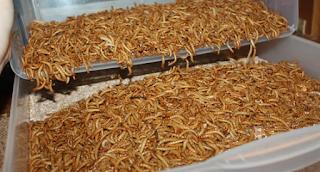 Cara Sukses untuk Ternak Ulat Kandang