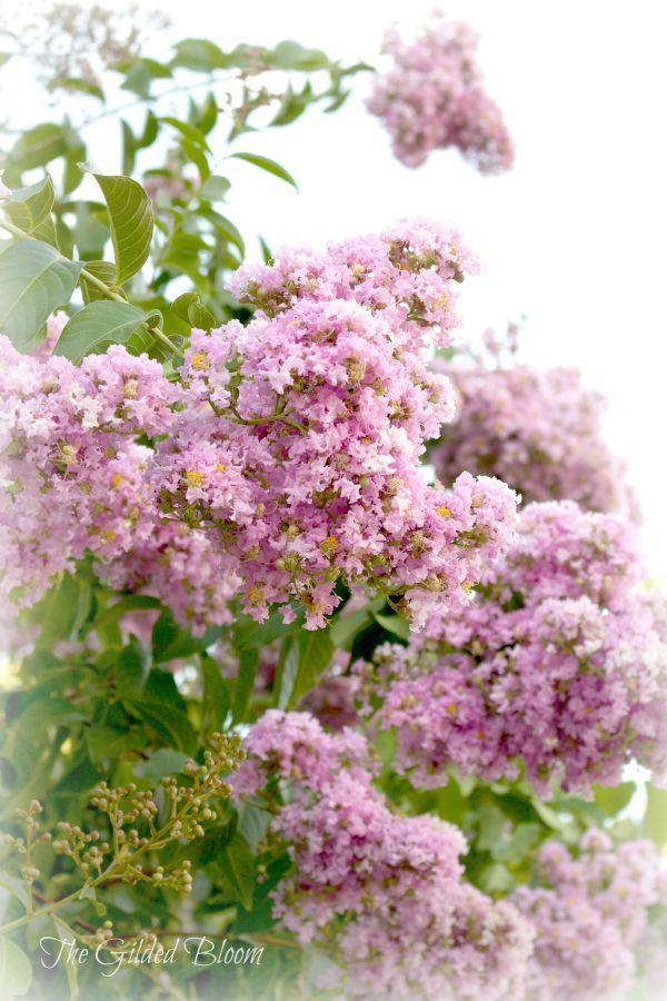 Crepe Myrtle Blossoms- www.gildedbloom.com #floweringtrees