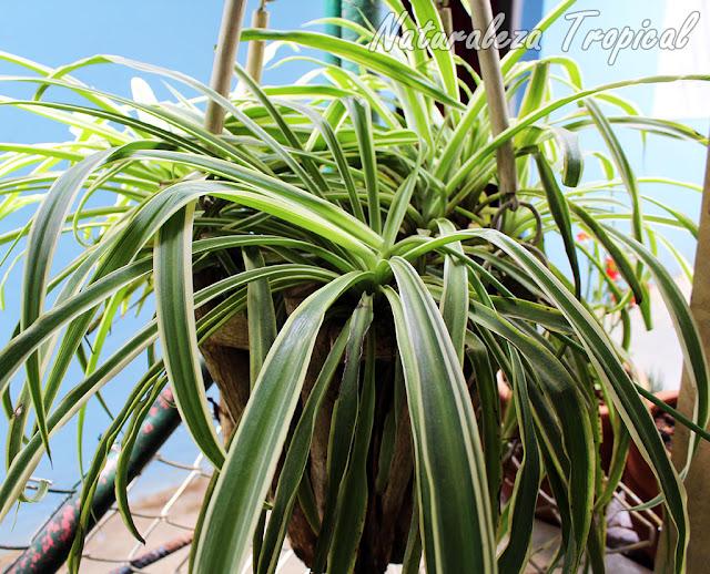Foto de una cinta, Chlorophytum comosum variegatum