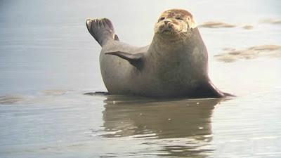 foche baia della somme
