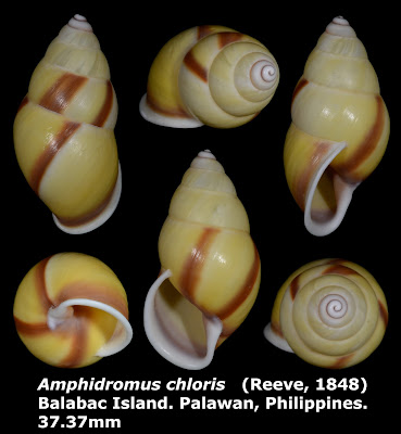 Amphidromus chloris 37.37mm