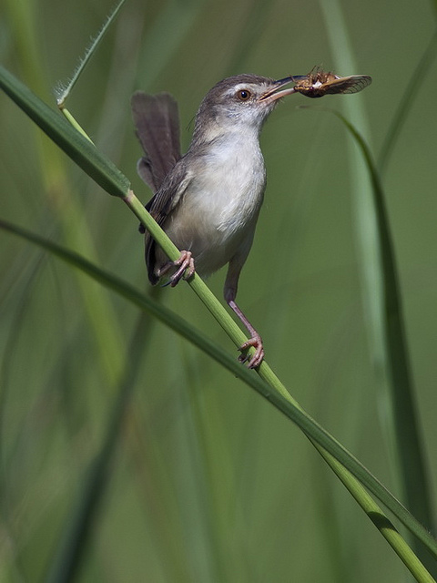 Selain gayanya yang lincah suara burung ciblek ini pun sangat mantap. Pencinta Burung Berkicau: CIBLEK