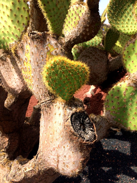 Lanzarote - co robić na wyspie? Jardin de Cactus - ile kosztuje bilet? Jak dojechać do Ogrodu Kaktusów na Lanzarote? Lanzarote na Wyspach Kanaryjskich - czy warto jechać, co zwiedzić? Kaktus burger na Lanzarote - czy warto zjeść?