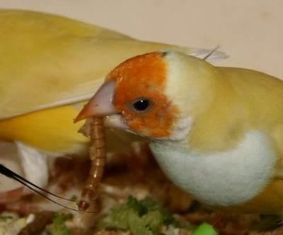 Kabar Terbaru 7 Manfaat Ulat Hongkong Untuk Burung Kenari Kabarterbaru Co