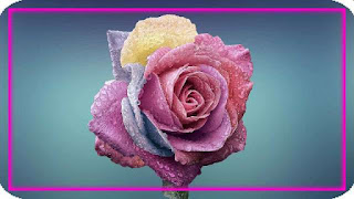 these image is of rose which is use to describe beauty of rose as it is king of the flowers