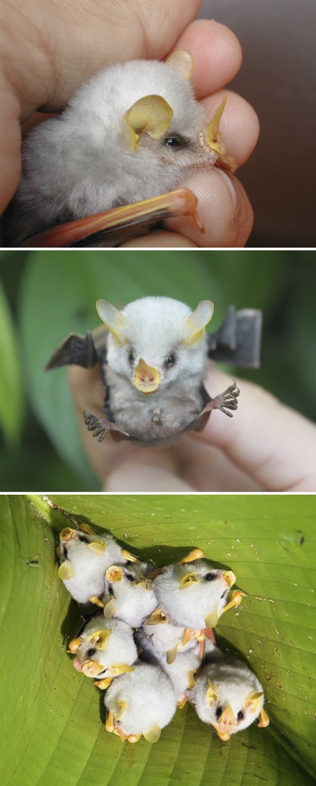 #9 Fluffy Honduran White Bat Baby - 10 Rare Animal Babies You've Probably Never Seen Before