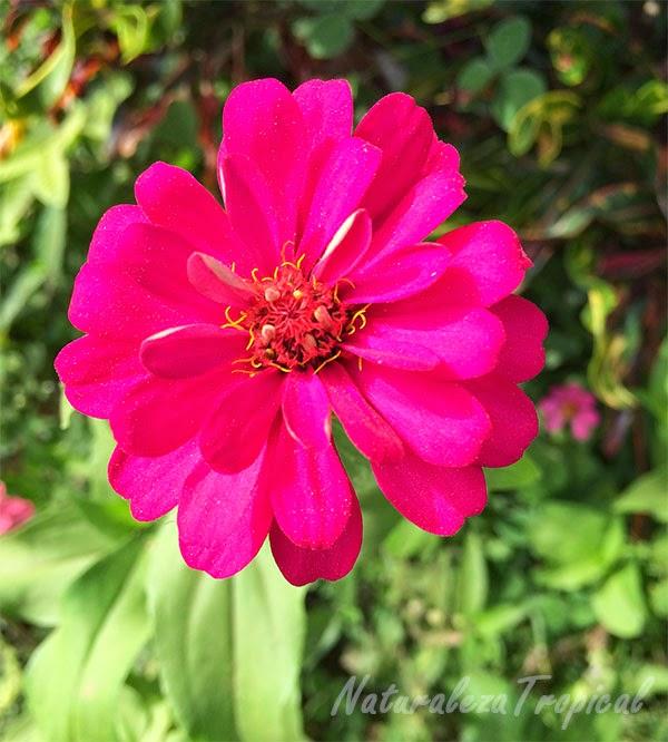 Variedad rosada del clavelón, nombre popular de Zinnia angustifolia