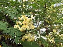 Drumstick tree (Moringa Oleifera) and its benefits for health