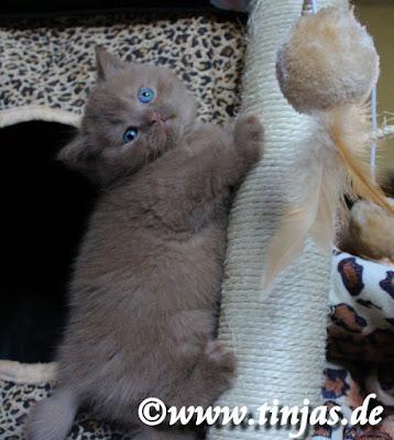 Katzenbabys Britisch Kurzhaar