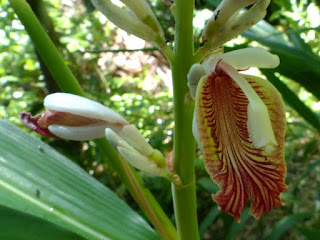 Zingibéracée observée à la Réunion
