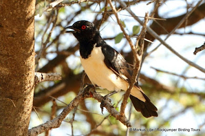 Magpie Starling