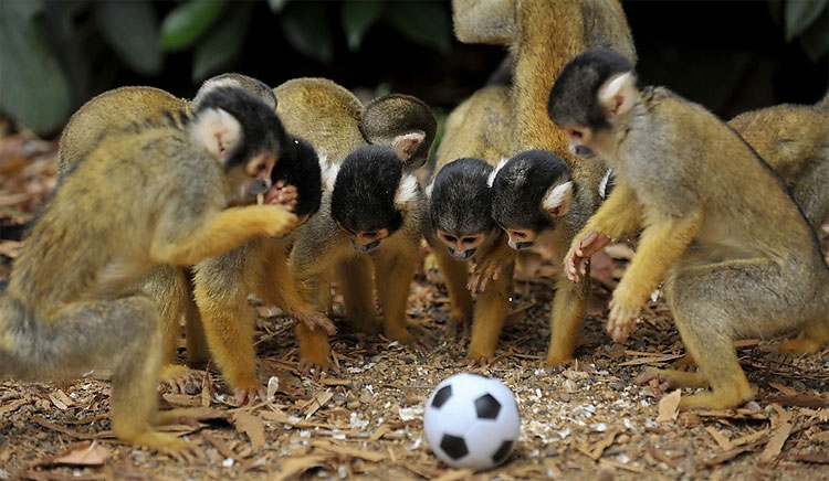 Cute monkeys playing soccer/football (4 pics) | Amazing ...