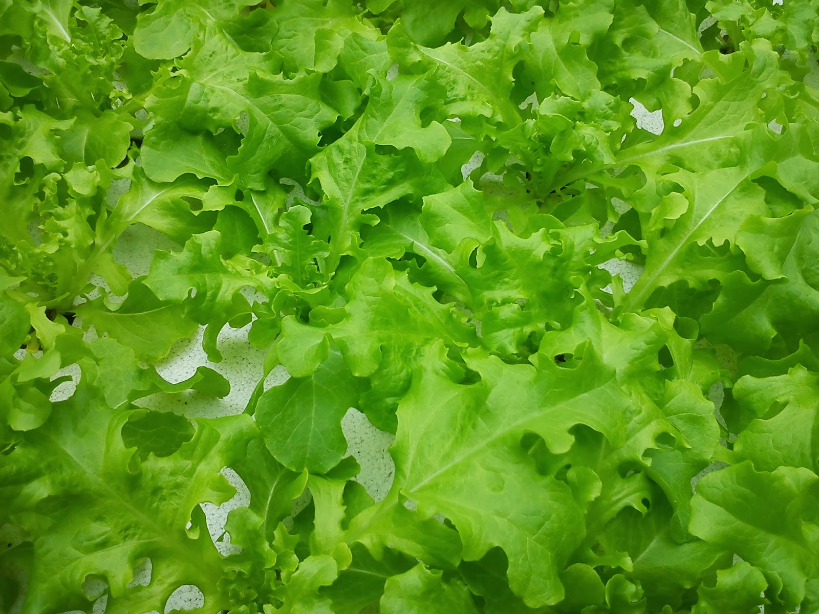 綠谷沙拉生菜園: 本期可收或生菜種類(20140218~20140318) 聯絡方式 e-mail: josephlwc@gmail.com mobile:0988515181
