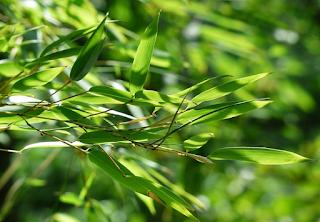 Daun bambu sebagai obat herbal yang mujarab