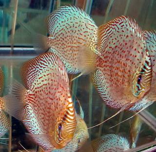 Cara Membedakan Ikan Discus Jantan Dan Betina Dari Gerakanya