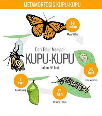 Metamorfosis Kupu - Kupu, Metamorphosis of Butterflies ...