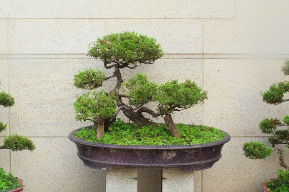 Bonsai Jepang Bonsai Istimewa