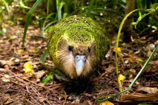 Mengenal Kakapo Spesies Nuri Endemik New Zealand yang Terancam Punah