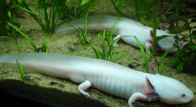 Ikan Berkaki