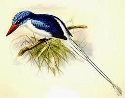 Martín pescador biak del paraíso Tanysiptera riedelii