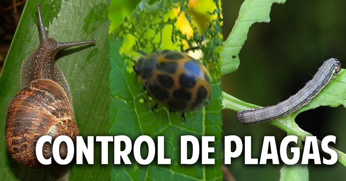 Qui n se come mis plantas gu a para controlar las plagas for Caracol de jardin de que se alimenta