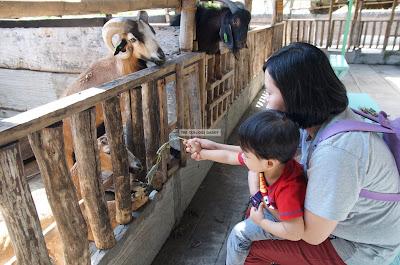 Ark Avilon Zoo - Barbados Blackbelly Sheep