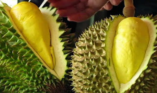 cara menanam durian dari biji,bibit durian montong 15rb bibit,cara menanam mangga agar cepat berbuah,cara menanam durian montong bawor,pupuk durian agar cepat berbuah,
